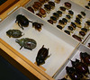More bugs.From the Beetle drawer. All Louisiana specimens. They have invaded my dreams and I wonder where they are all  hiding now.