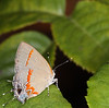 Acadian Hairstreak (Satyrium acadicum) develops on willow trees and it is believed those hind wing tails are used to deflect predator attention from the real direction of the butterfly.