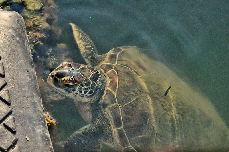 Immature Green Sea Turtle comes to the dock to munch on the sea salad growing along the edges.  We estimate about a 5 year old. <br /> One of the best perks!