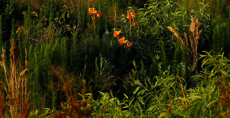 A Sunday Haiku<br /> <br /> Canna Lilies grow<br /> in the field by the house<br /> catching the dusk sun