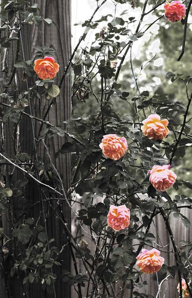 Rose-laden.