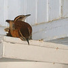 Pair of house wrens bedding down for the night on the column cornice of my front porch. This is a favorite spot when the weather turns chilly. I only took one flash photo from the door for fear of scaring them. (It is about 6PM and it is dark outside beyond the porch). They are very cute.