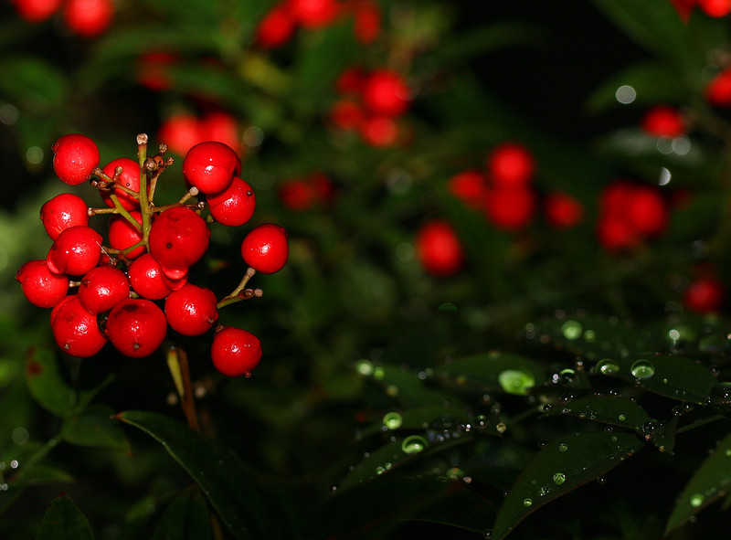Natchitoches Christmas Festival is today; so, appropriately, a little red and green. Turns out these berries are the only things of color left in the yard after yesterday's hard freeze and snow fall.