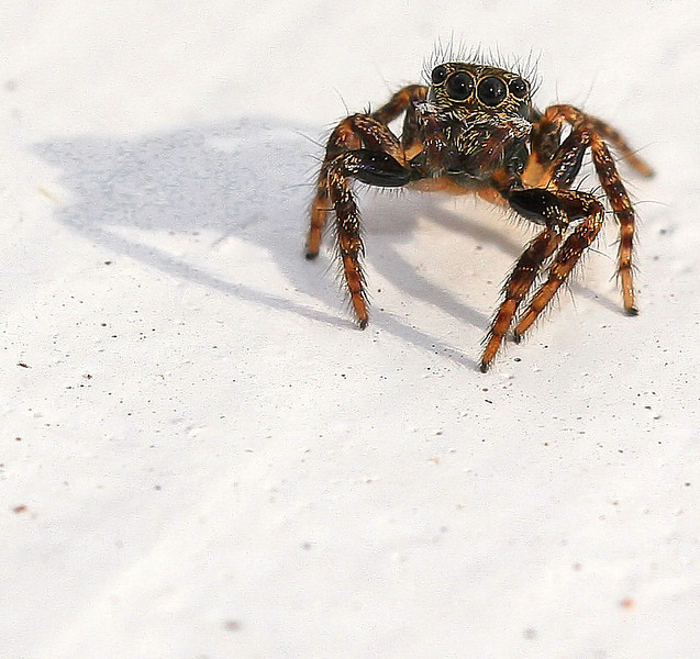 """Tiny arachnid I found in the leaf litter looking for insects for my Entomology class today.  He was jumping all over the white table top anxious to get back to his home under the leaves. This whole """"collecting specimen"""" thing has me a bit unsettled to be honest. No one cares what you do to bugs."""