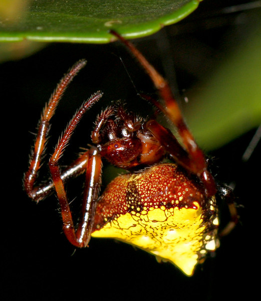 Back to spiny spiders. Her eyes are different colors.