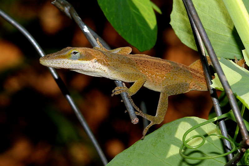 It has been a while since I posted an anole (and that was a dead one) so I went looking in the garden and found this long-toed funny fellow who couldn't decide which way to go or which color to choose.