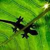 Lizard in our garden, Mika keeping the leaf up and i take the picture from underneath