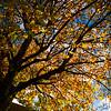 Antwerp tree