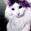 """""""Purple"""" - Wed 23 Jan<br /> <br /> Not too much inspiration for pictures today, just a few of my cat this morning. Not to make it """"another cat picture""""  I gave her a slight purple posterize treatment in photoshop... Will be better tomorrow, I promise"""