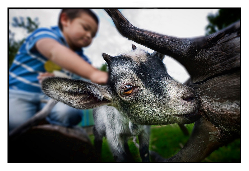 Wed 11 Aug - Goat<br /> <br /> Today to see my dad in Eskilstuna and traditional visit to the Eskilstuna Zoo. Favorite among kids is the area where you can play with the small animals, like the goat here