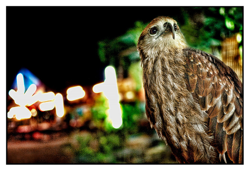 Mon 1 Feb - Hawk<br /> <br /> Dinner at Hans and Jane's favorite local Thai restaurant on Samui. The restaurant is one of many in a small market and next to it, there's a pet store, where this Hawk was posing
