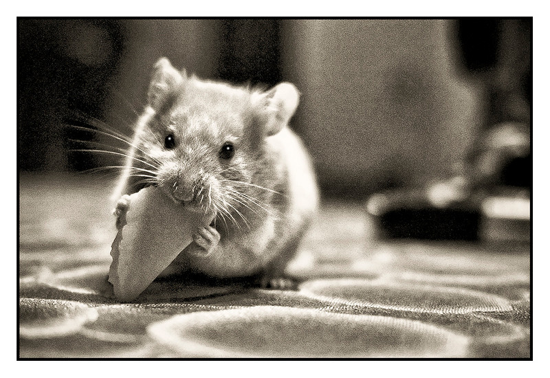 Wed 17 Feb - Cheese<br /> <br /> Rats (sorry, hamsters) do like cheese... Mikas pet Maja loves to have a piece of Swedish cheese once in a while. Looks like she can eat enourmous amounts, but she stuffs it up her cheeks for later snack back in her small house..
