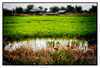 Fri 26 March - Rice field<br /> <br /> Somewhat dull day today in office and really no idea for a representative picture... Passing this rice field to and back from office everyday and it looked a little bit greener than office : )<br /> <br /> Tomorrow golf with customers