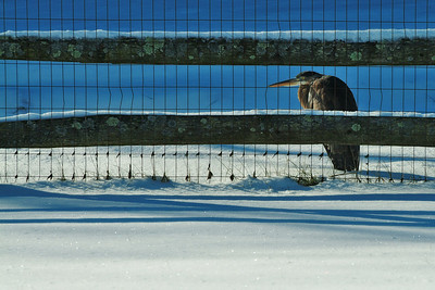 Not exactly the composition I would have chosen but the bird (I believe a Heron) did not want to cooperate and promptly flew away after I asked it to move away from the fence.  Regardless, we don't see these very often in our back yard and I've never seen one in the winter so it warrants photo of the day even with the less than stellar composition.   For those who have not seen one of these, they are *big* birds, I'd estimate he stood about 18 inches high and that was in his scrunched down posture in the picture.