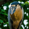 The boat-billed heron is a serious looking bird.