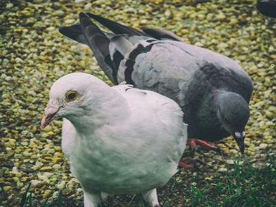 White pigeon was a standout