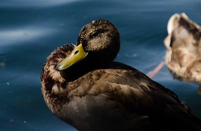 Another waterfowl, but this duck was daring me not to post a picture of it.
