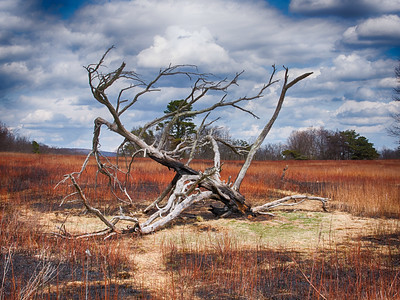 Big Meadows had a prescribed burn earlier in the week but this dead tree survived