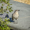 Lots of mockingbirds out by the US Botanic Garden. This one seemed to have some attitude