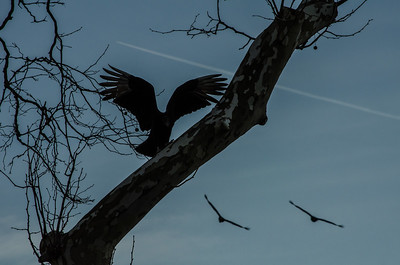Black vulture coming in for a landing on tree near the Conowingo  Dam along the Susquehanna river