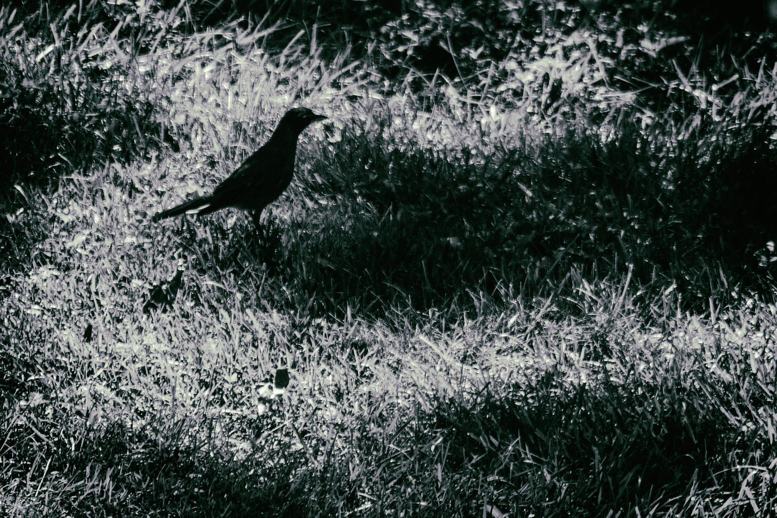 Some backyard photography tonight, robin in search food