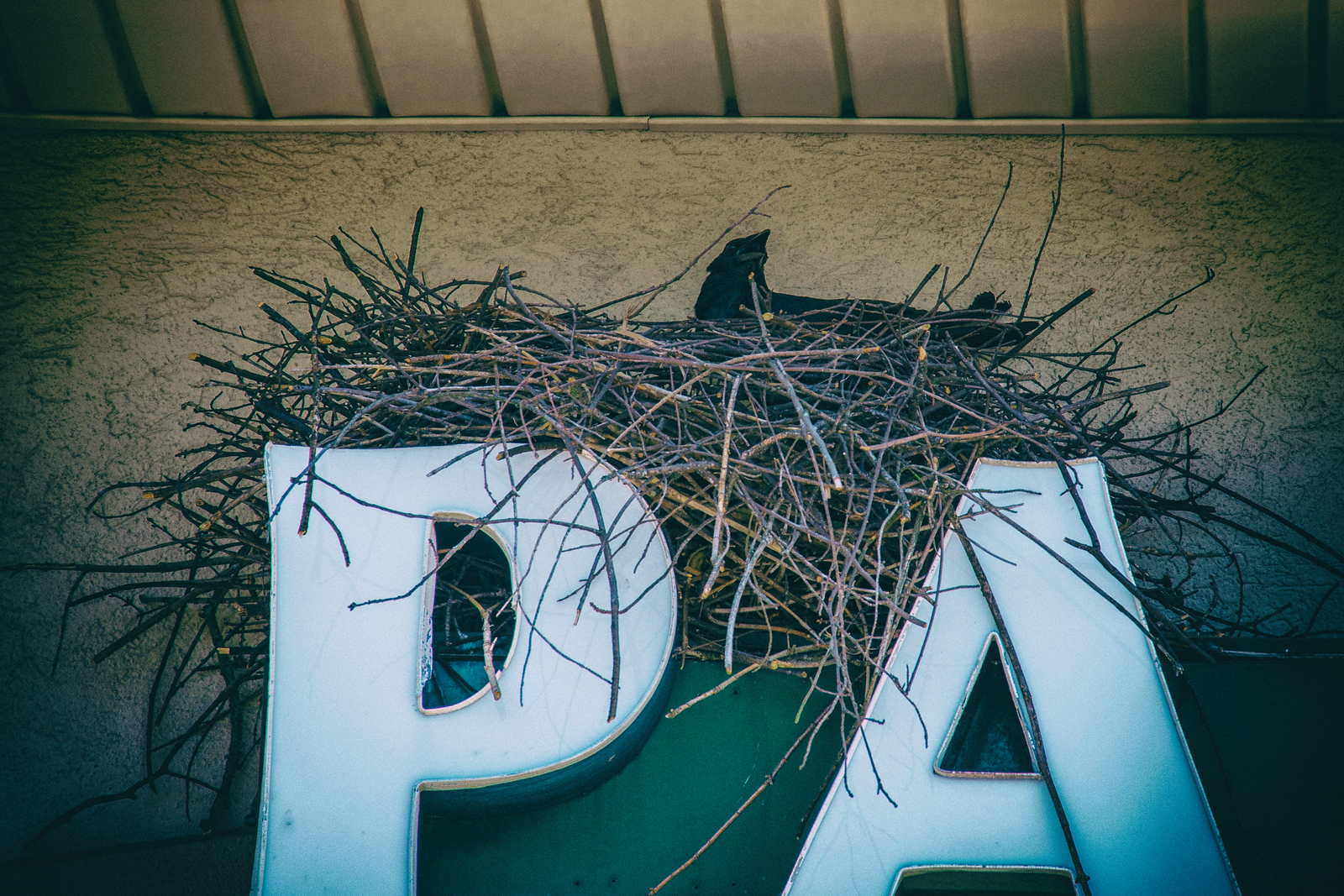Black bird found a home on awning sign