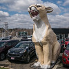 A relic of past Lincoln-Mercury dealerships, these giant cougars would often be found on a rood. The dealership is now for Kia and the big cat evidently still brings in the people
