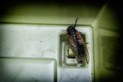 "This guy is part of the ""mystery swarm"" of cicadas in the DC area"