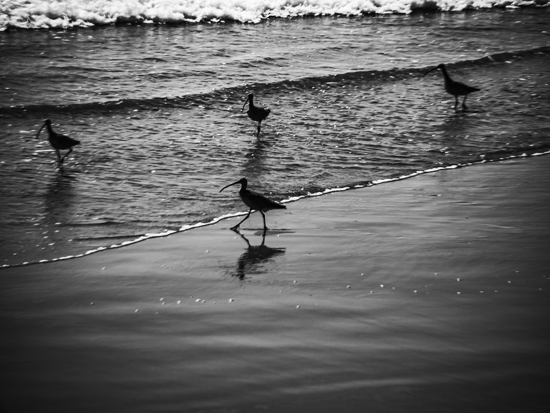 Curlews looking for a bit to eat