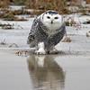 February 1 2014 - Snowy Owl