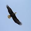 February 13 2014 - Bald Eagle