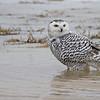 January 19 2014 - Snowy Owl