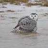 January 13 2014 - Snowy Owl
