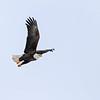 January 11 2014 - Bald Eagle