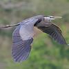 July 9 2014 - Great Blue Heron
