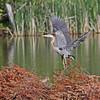 June 17 2014 - Great Blue Heron