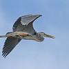 June 9 2014 - Great Blue Heron
