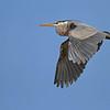 June 4 2014 - Great Blue Heron