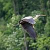 June 28 2014 - Great Blue Heron