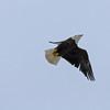 March 29 2014 - Bald Eagle