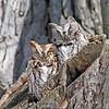 March 9 2014 - Screech Owls
