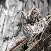 May 18 2014 - Screech Owl