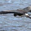 May 30 2014 - Great Blue Heron