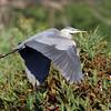 October 7 2014 - Great Blue Heron