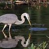 September 17 2014 - Great Blue Heron