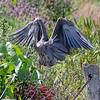 August 24 2015 - Heron