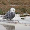 January 14 2015 - Snowy Owl
