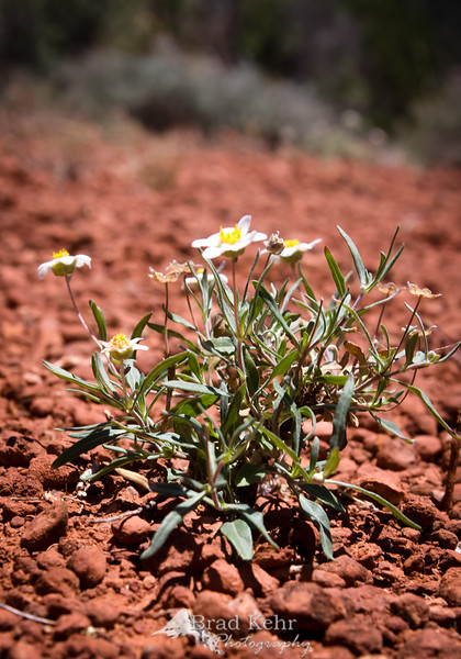 A flower in the desert - its true beauty revealed as it perseveres through the heat.