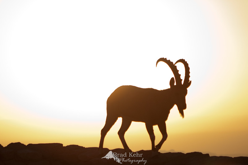 Nubian Ibex at sunrise.