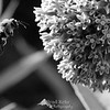 Buzzing a Milkweed Plant.